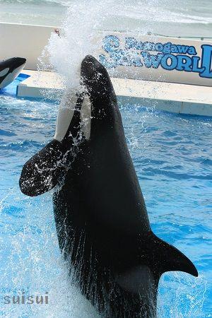 kamogawaseaworld orca 1