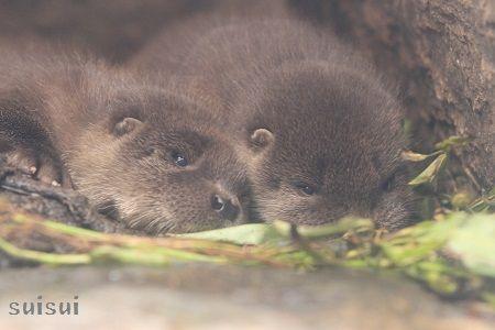 aquamarinefukushima otter baby 7