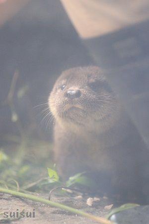 aquamarinefukushima otter child 8