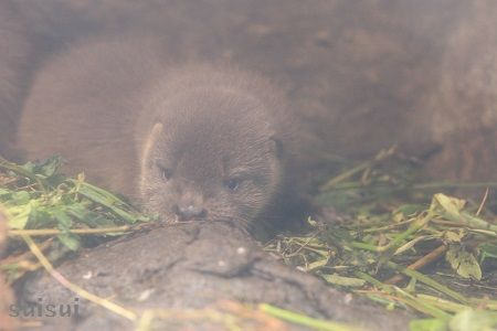aquamarinefukushima otter baby 6