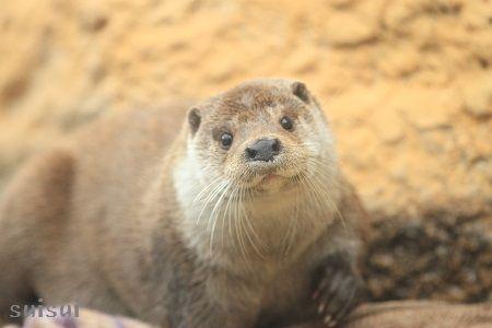 nasu animal kingdom eurasian river otter 2