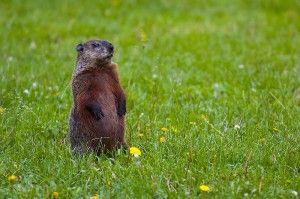 Groundhog-300x199
