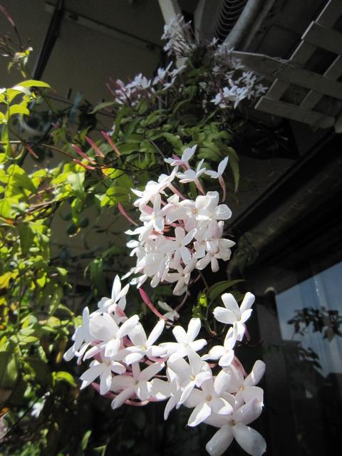 【ハゴロモジャスミン】ベランダ天井まで満開になるツル性の白花☆ 常緑! 半日蔭OK!