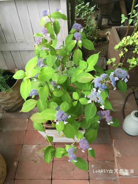 【いとうせいこう著 『自己流園芸ベランダ派』】 ヤマアジサイ(甘茶)は今が見ごろ。新緑に青紫が映えて美しい☆ 水をよく吸い上げるアジサイを見ると、この本を思い出します。