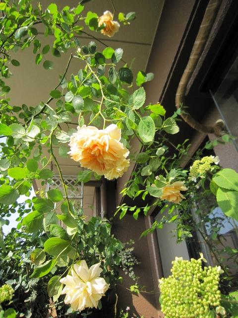 """【オールドローズの丸い花と強い香りに憧れて☆】ベランダで最初に育てたバラは、アプリコット色、四季咲きでトゲが少ない半ツル性のイングリッシュローズ """"ティー・クリッパー"""""""
