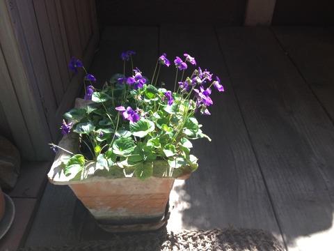 【スイートバイオレット】年中咲くハーブのスミレ☆ハート型の葉がカワイイ ^ ^ エディブルフラワー