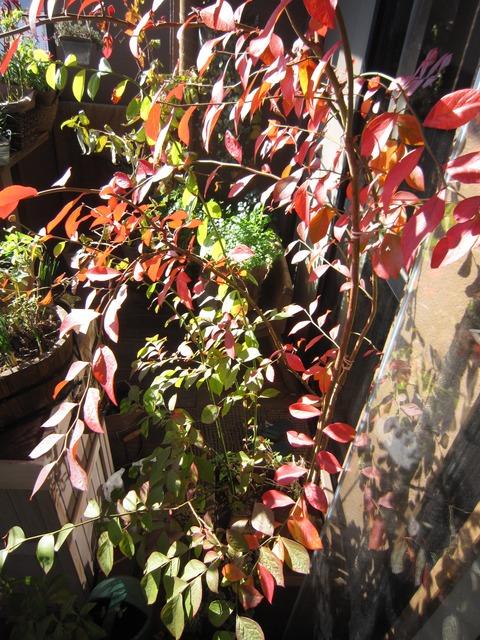 【ブルーベリーの紅葉】ベランダの真っ赤な紅葉を暖かい部屋から眺める贅沢 ^ ^