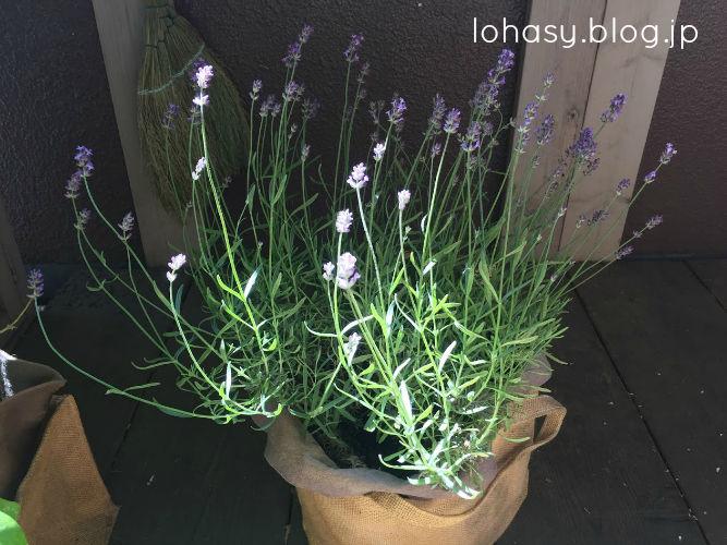 【長崎ラベンダー☆暑さに強い二期咲きのイングリッシュラベンダー】良い香り! 昨年9月に購入した苗が満開になりました。夏を越して秋にも咲いてくれたら嬉しいよね~
