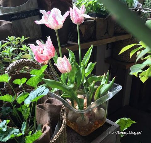 """【チューリップ球根の水耕☆】金魚鉢の """"ビー玉"""" の上で、チューリップが綺麗に咲きました! 水を入れて、ただ放置していただけ! あっけないほど簡単でした"""