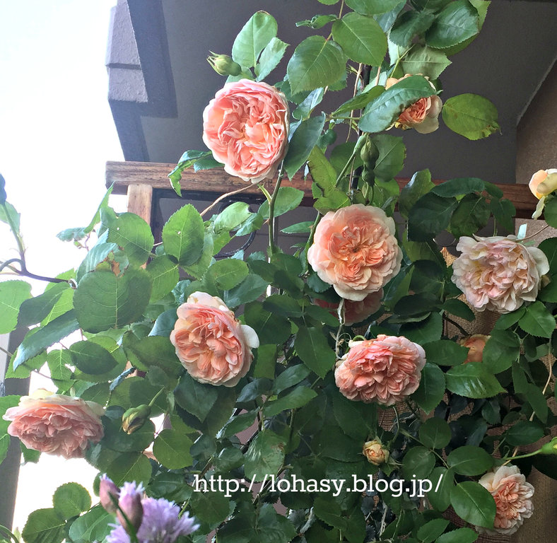 """【超強香のバラ """"エブリン"""" がベランダで満開!】トゲが少ない半つる性・オールドローズの花型をもつイングリッシュローズですよ~"""
