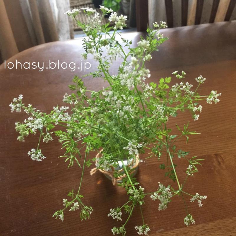 【チャービルの花☆】葉が美味しいサラダハーブですが、花はアレンジメントに使えるって知ってました? レースフラワーっぽい、涼やかな花なんです。