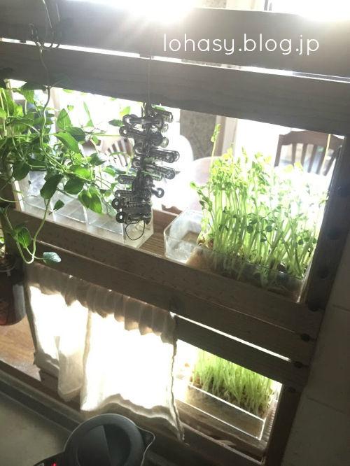 【キッチンカウンターに棚つくりました☆】カット角材を金具で留めただけですが! 水耕ハーブや豆苗を2段の棚に飾りながら育てています