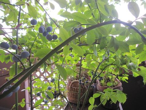 """【ベランダのシンボルツリーは """"ブルーベリー"""" でしょ!】花・実・紅葉が楽しめて半日陰OKだから!"""