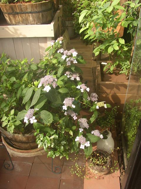 【ヤマアジサイ(甘茶)】風情あるお茶席の花。小ぶりでベランダ向き☆ 鉢でも花数40個! 意外と大株になるんです。