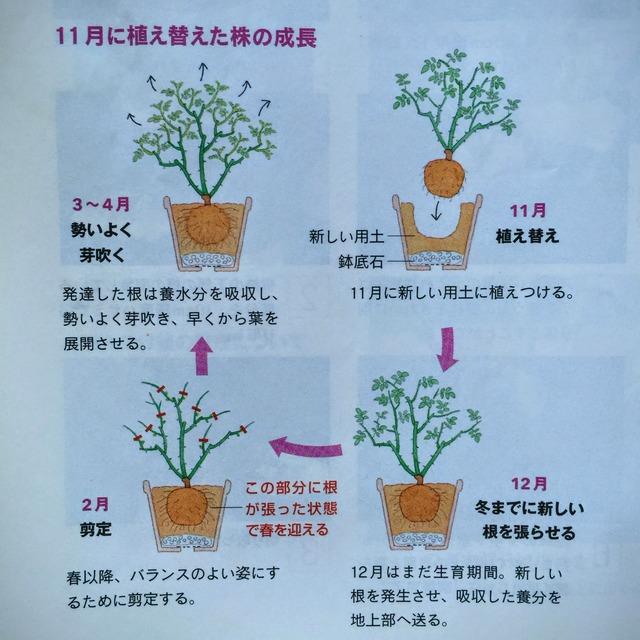 【バラの鉢は11月に植え替え、2月に剪定☆】バラ栽培アドバイザー・有島さん流でやっています。この方法を知ったきっかけは6年前、NHK趣味の園芸。