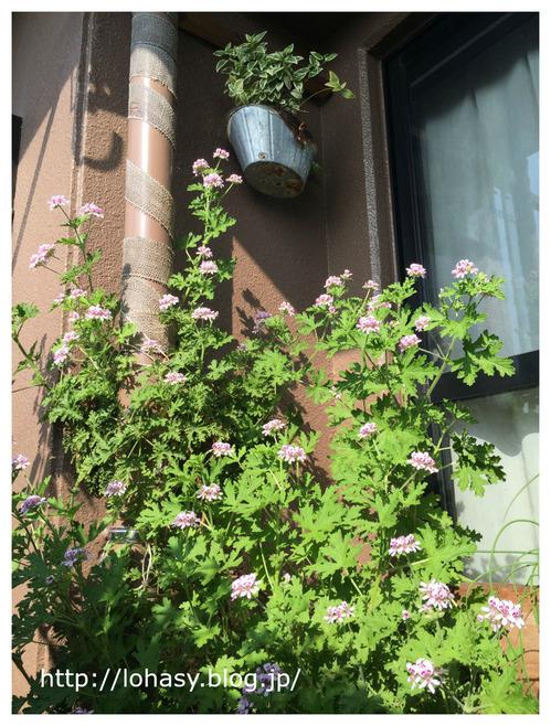 【ローズゼラニウム☆葉がバラの香りのハーブ】成長早いし、半日陰でも咲くから、ベランダに超オススメ! 挿し木でも1年で高さ1m超えましたよ~