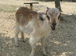 090524しろとり動物園ヤギ