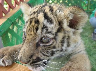 090524しろとり動物園黄虎