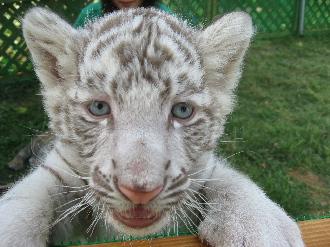 090524しろとり動物園白虎