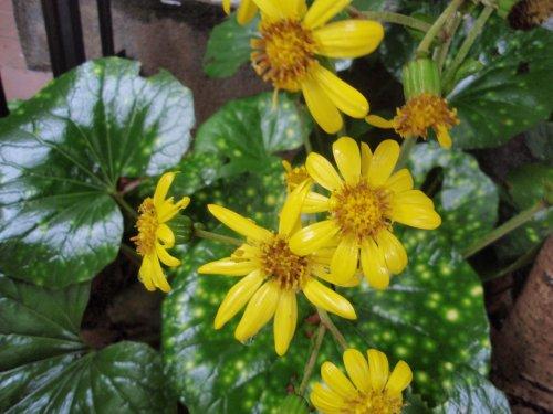 石蕗(ツワブキ)の花