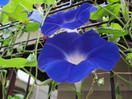 アサガオ青色