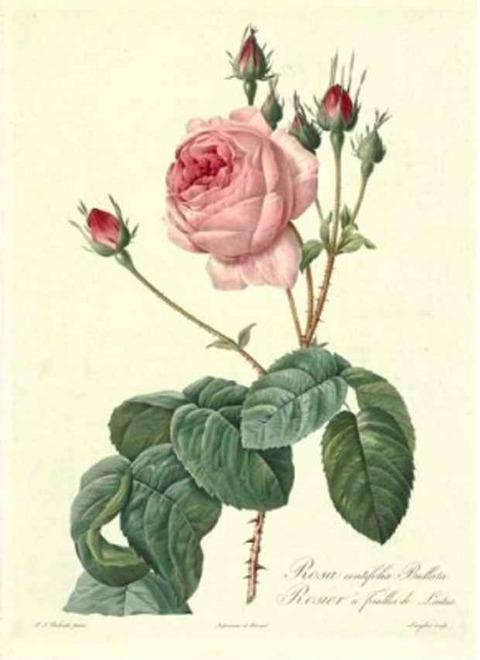 ルドゥーテ 『バラ図譜』