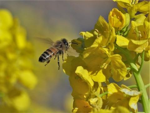 200306菜の花とミツバチ③