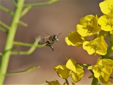 200306菜の花とミツバチ②