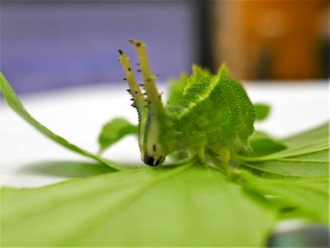 0625オオムラサキ幼虫③