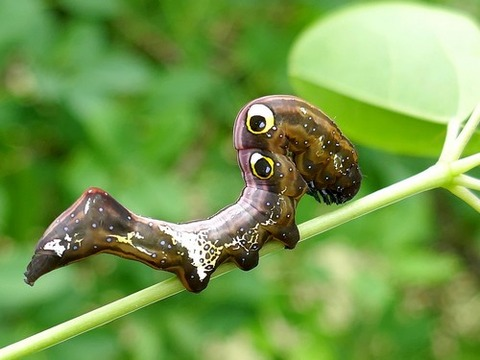 0516アケビコノハ幼虫②