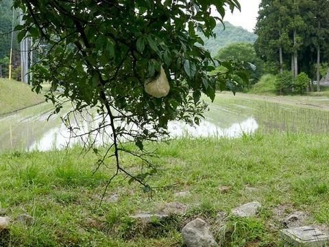 0615モリアオガエル卵塊①
