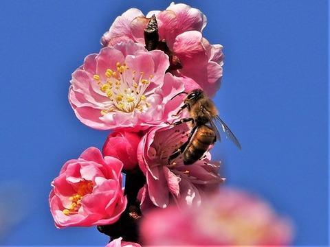 200306紅梅とミツバチ①