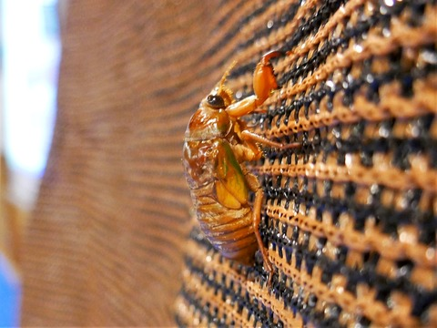 0725アブラゼミの幼虫