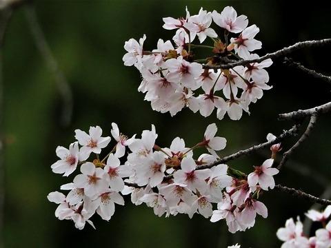 0407ソメイヨシノ③
