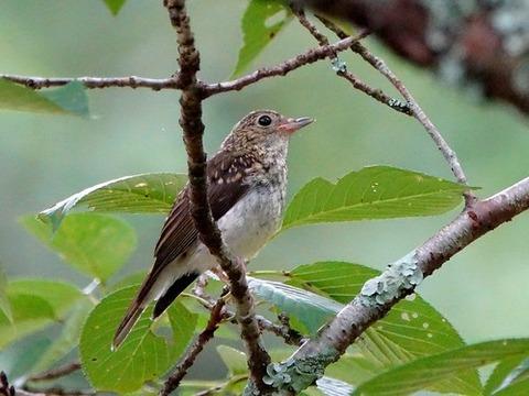 0713コサメビタキ幼鳥①