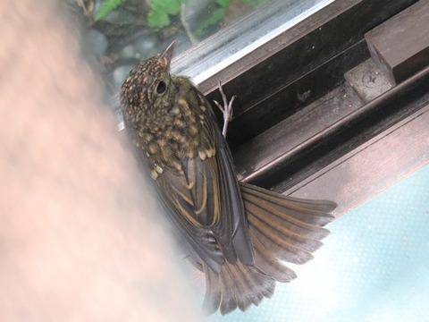 0615キビタキ幼鳥③