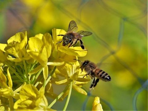 200306菜の花とミツバチ①