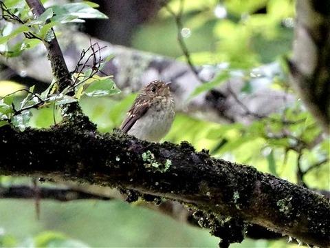 0615キビタキ幼鳥①