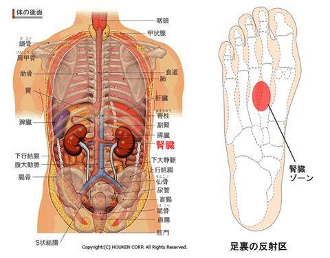 腎の位置と足の反射区