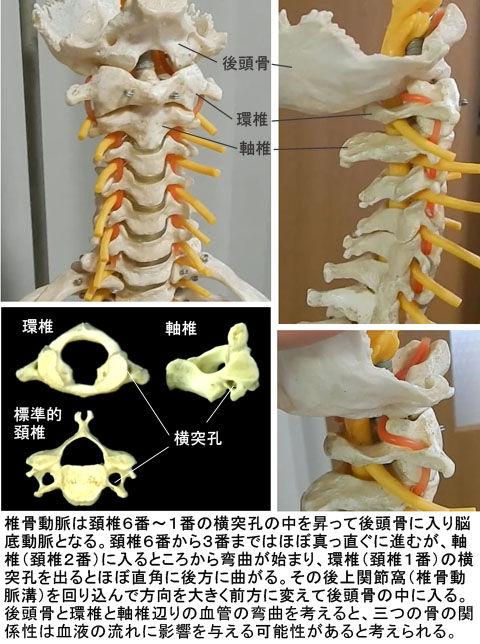 椎骨動脈の走行