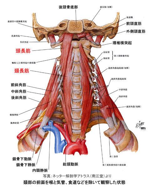 頭長筋と頚長筋と斜角筋