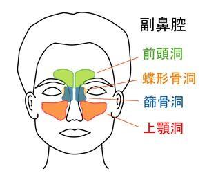 四対の副鼻腔
