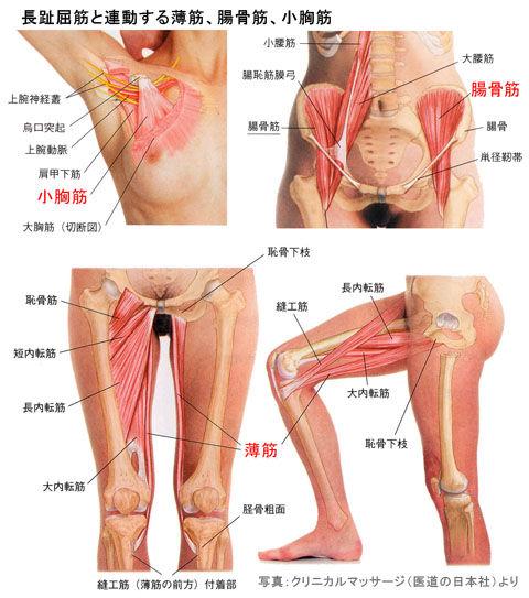 長趾屈筋と連動する薄筋、腸骨筋、小胸筋