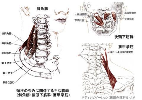 頚椎の歪みに関係する主な筋肉