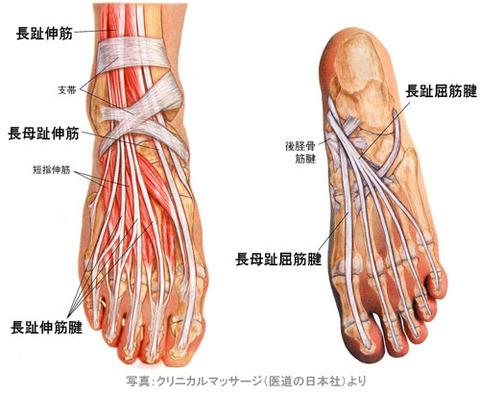 足の伸筋腱と屈筋腱