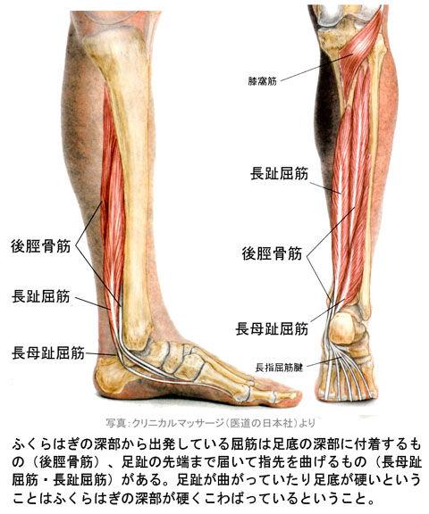 下腿深部の屈筋