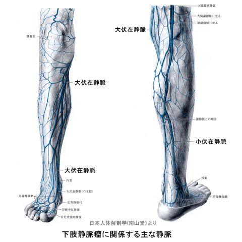 下肢静脈瘤に関係する主な静脈
