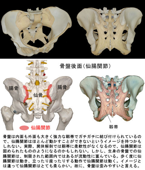 骨盤の靱帯