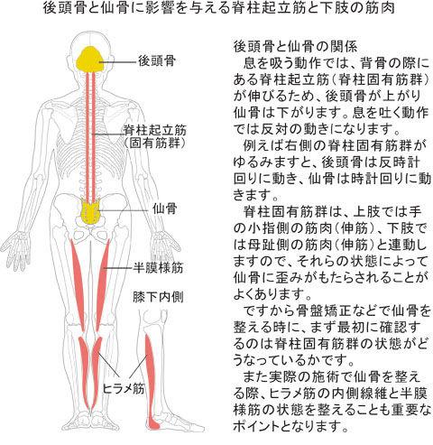 後頭骨と仙骨に影響を与える脊柱起立筋と下肢の筋肉
