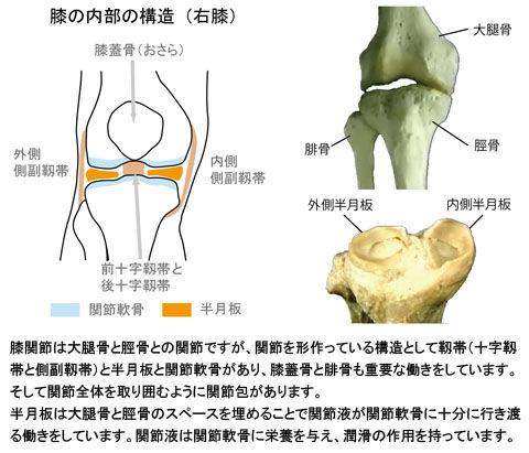 膝の内部構造